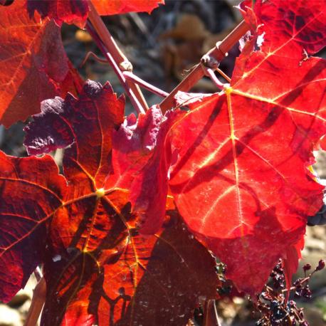 Red Vine